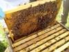 ruche-25-cellules-royales